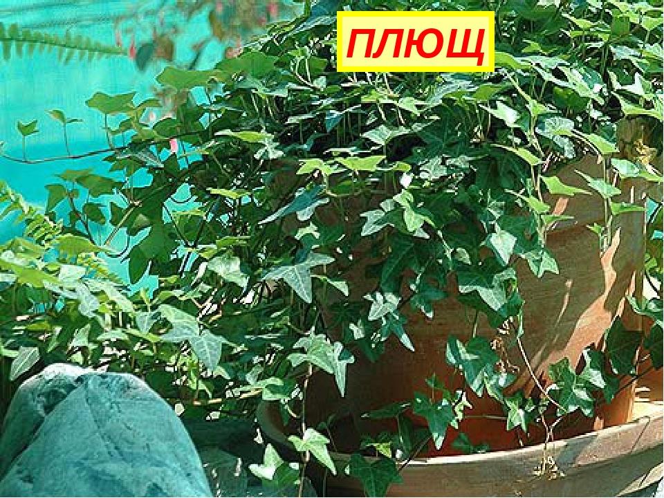 Вверх по стенке крутой, По бетонке литой Многоножка ползет, С собой листья ве...