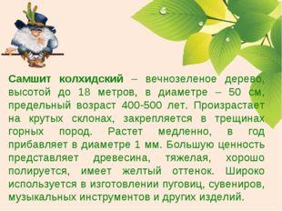 Самшит колхидский – вечнозеленое дерево, высотой до 18 метров, в диаметре – 5