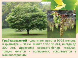 Граб кавказский – достигает высоты 30-35 метров, в диаметре – 80 см. Живет 10