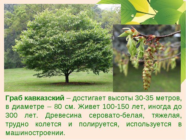 Граб кавказский – достигает высоты 30-35 метров, в диаметре – 80 см. Живет 10...