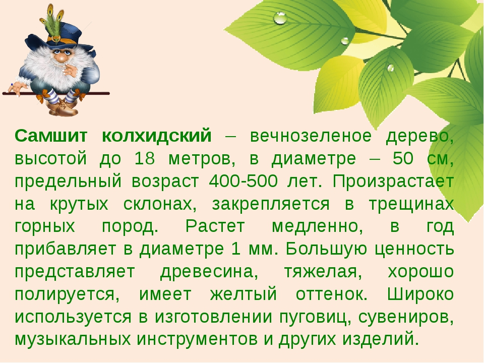 Самшит колхидский – вечнозеленое дерево, высотой до 18 метров, в диаметре – 5...