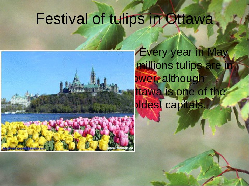 Festival of tulips in Ottawa Every year in May 5 millions tulips are in flowe...