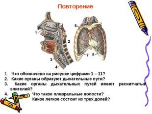 Повторение Что обозначено на рисунке цифрами 1 – 11? Какие органы образуют ды