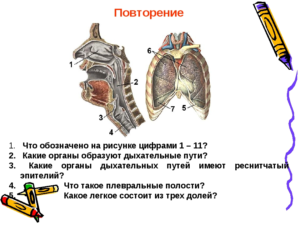 Повторение Что обозначено на рисунке цифрами 1 – 11? Какие органы образуют ды...