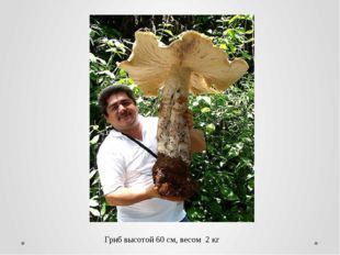 Гриб высотой 60 см, весом 2 кг