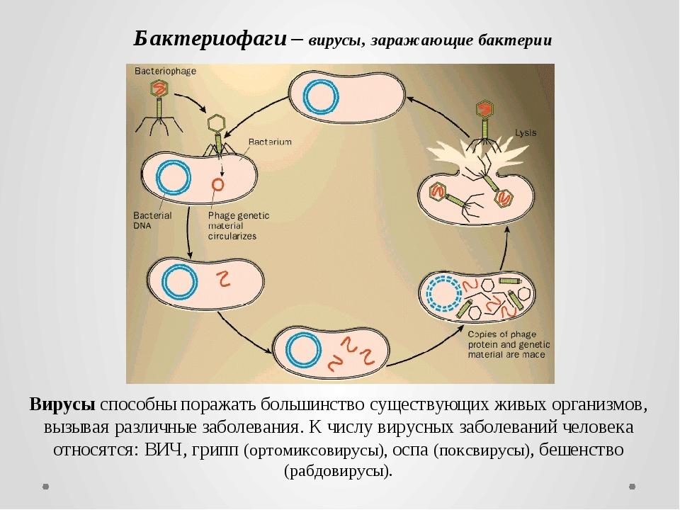 Бактериофаги – вирусы, заражающие бактерии Вирусы способны поражать большинст...