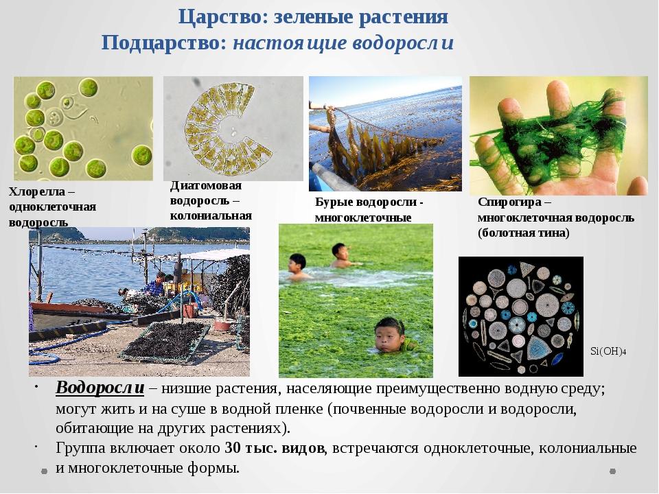 Царство: зеленые растения Подцарство: настоящие водоросли Водоросли – низшие...