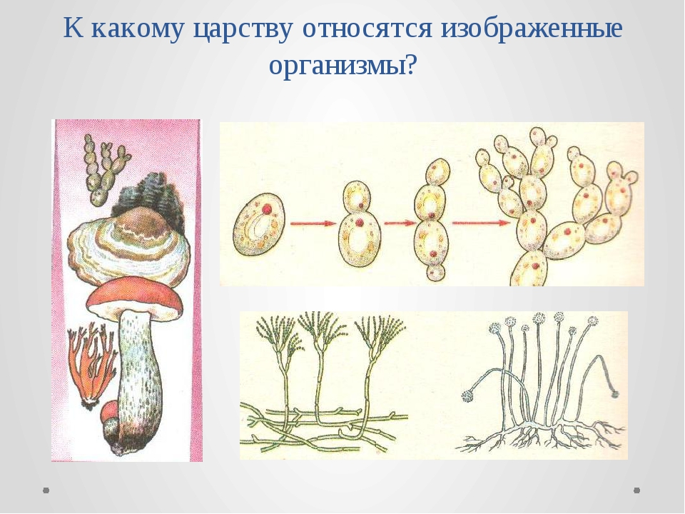 К какому царству относятся изображенные организмы?