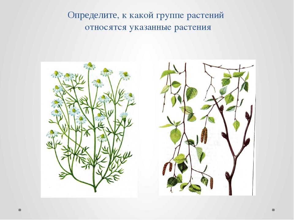 Определите, к какой группе растений относятся указанные растения
