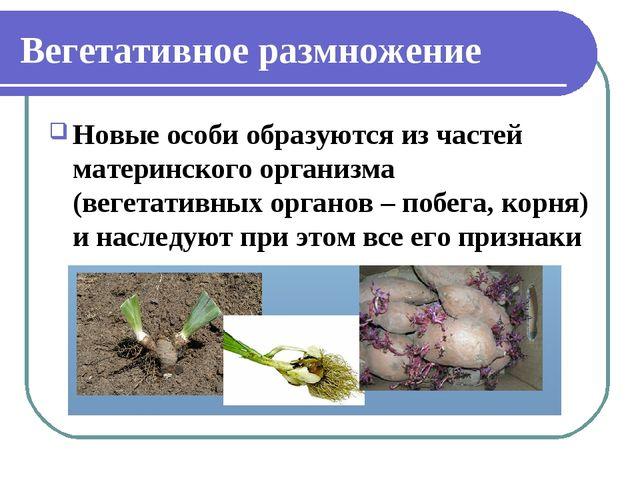 Вегетативное размножение Новые особи образуются из частей материнского органи...