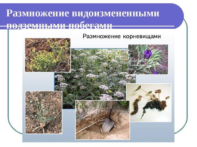 Размножение видоизмененными подземными побегами