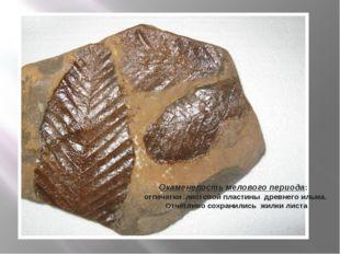 Окаменелость мелового периода: отпечатки листовой пластины древнего ильма. От