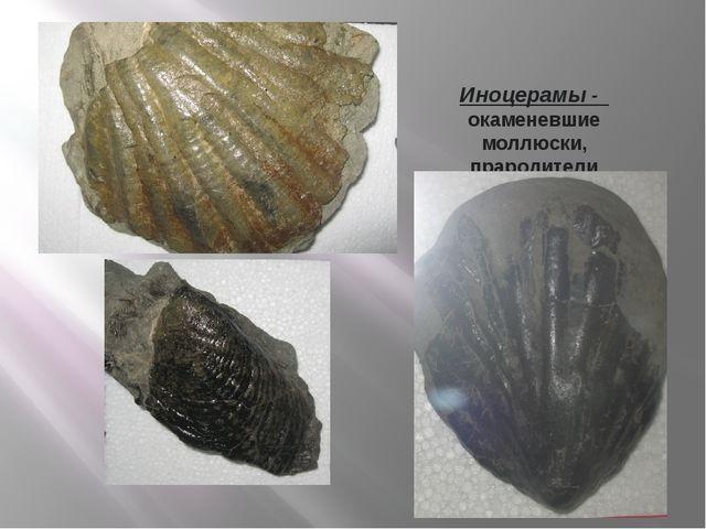 Иноцерамы - окаменевшие моллюски, прародители современных двустворчатых мидий...