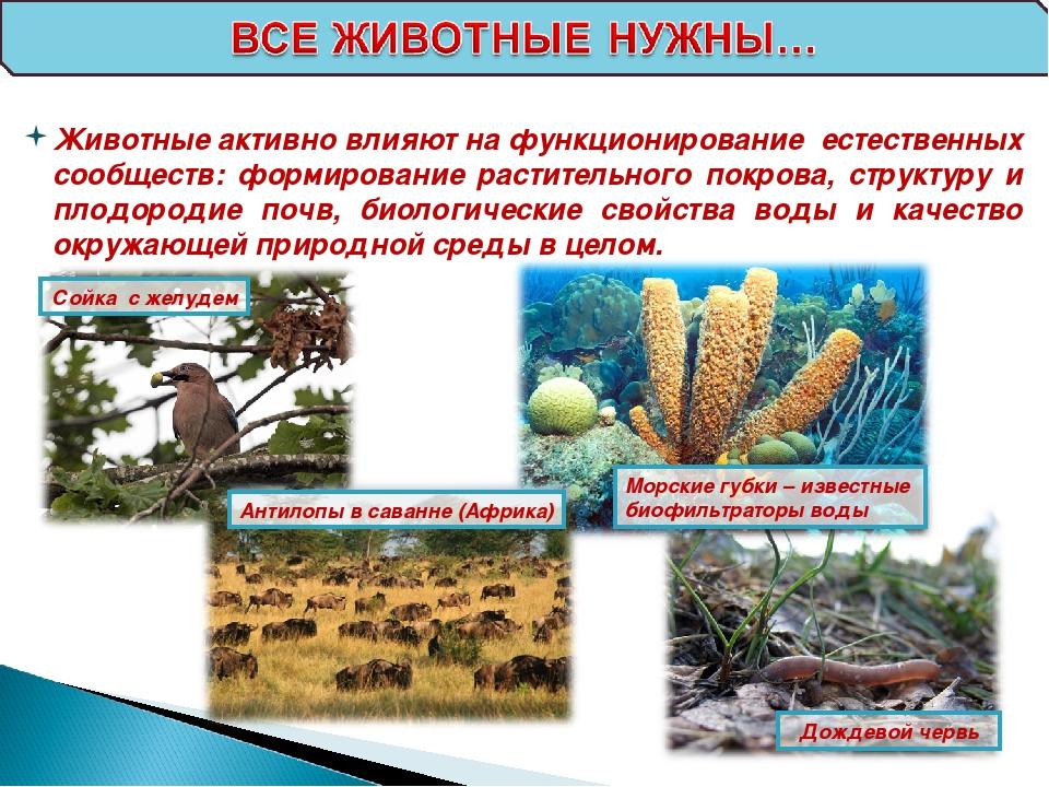 Сойка с желудем Антилопы в саванне (Африка) Морские губки – известные биофиль...