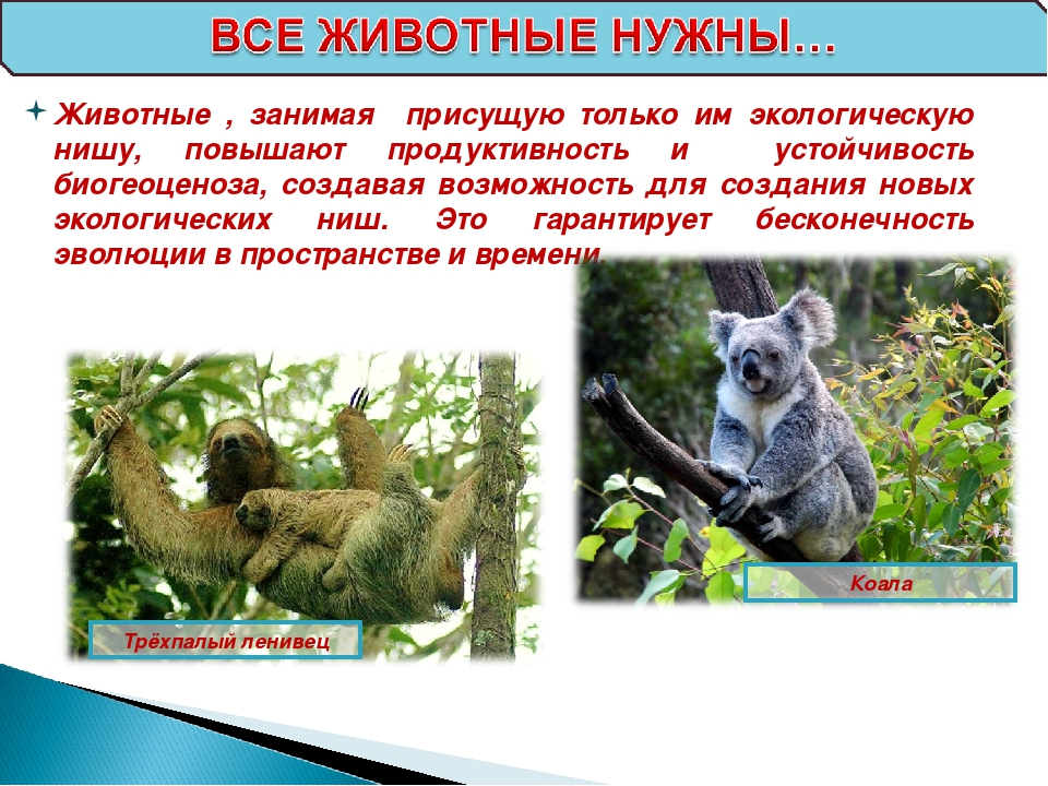 Трёхпалый ленивец Коала