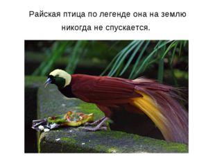 Райская птица по легенде она на землю никогда не спускается.