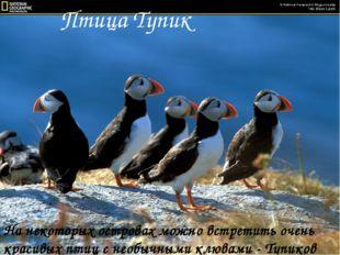 Птица Тупик На некоторых островах можно встретить очень красивых птиц с необы