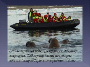 Сейчас охота на редких животных Арктики запрещена. Под охрану взяты некоторые