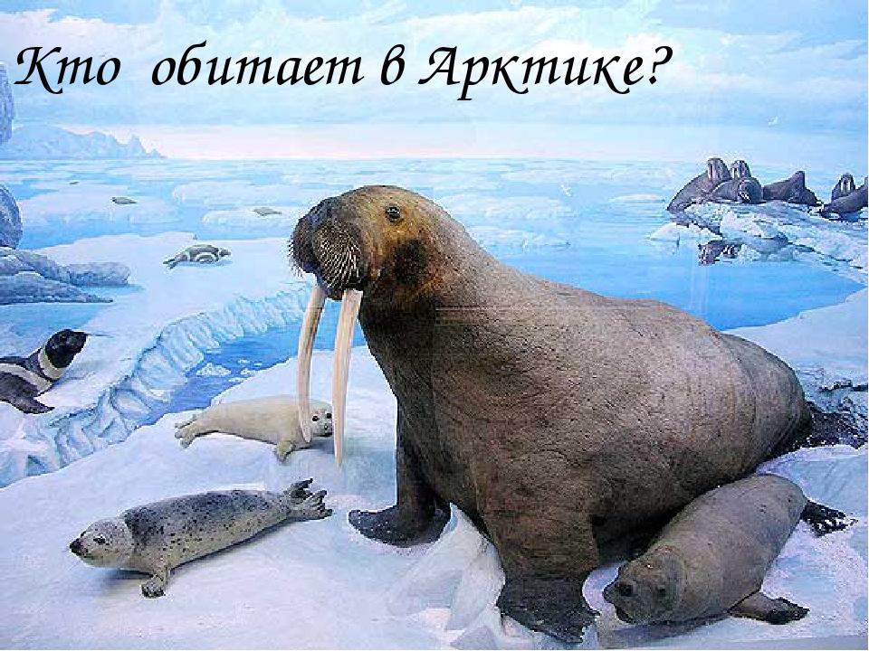 Кто обитает в Арктике?