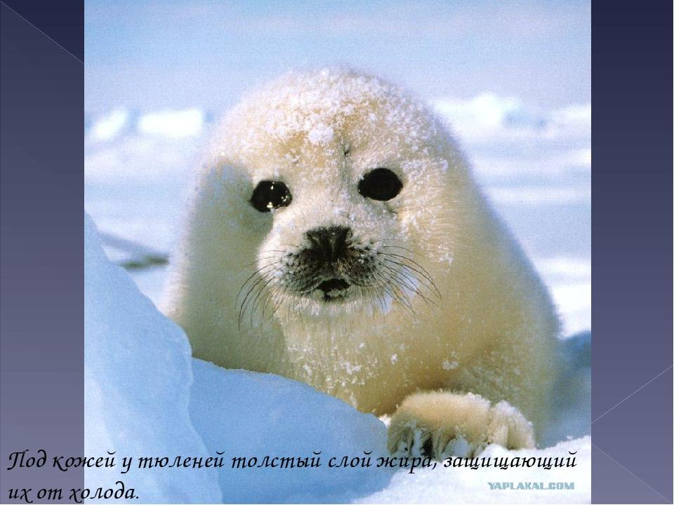Под кожей у тюленей толстый слой жира, защищающий их от холода.