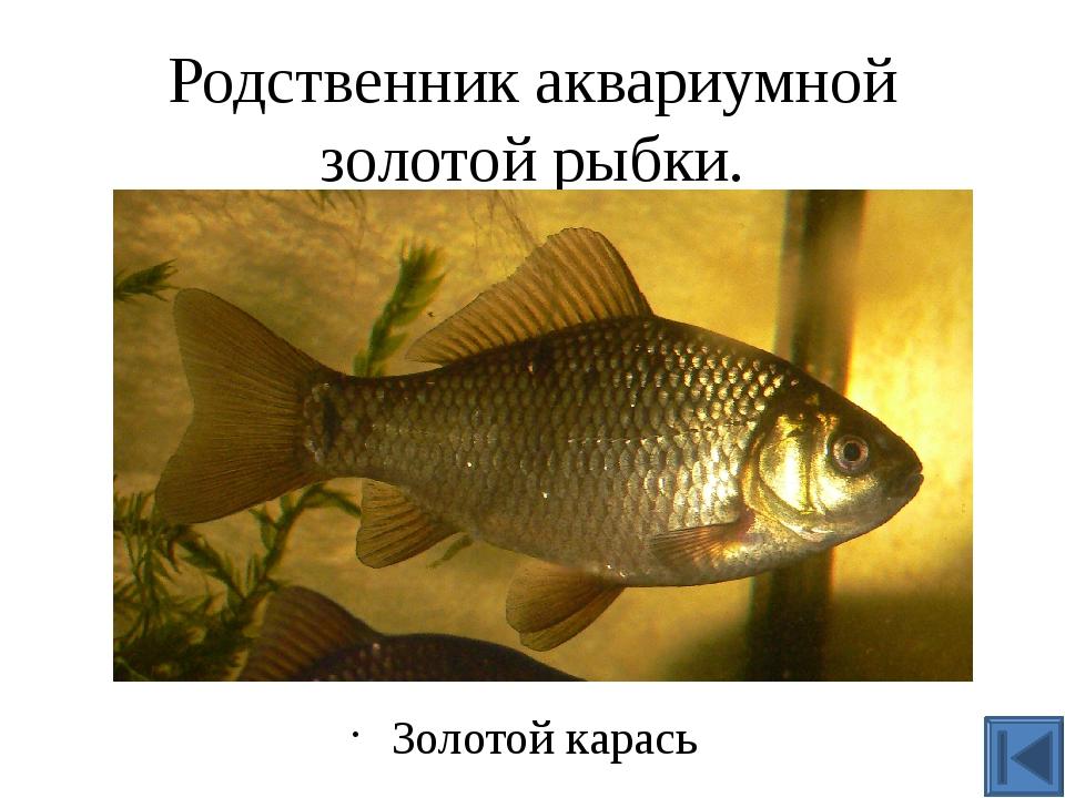 Эта рыба выдерживает частичное пересыхание водоёма и полное промерзание до дн...