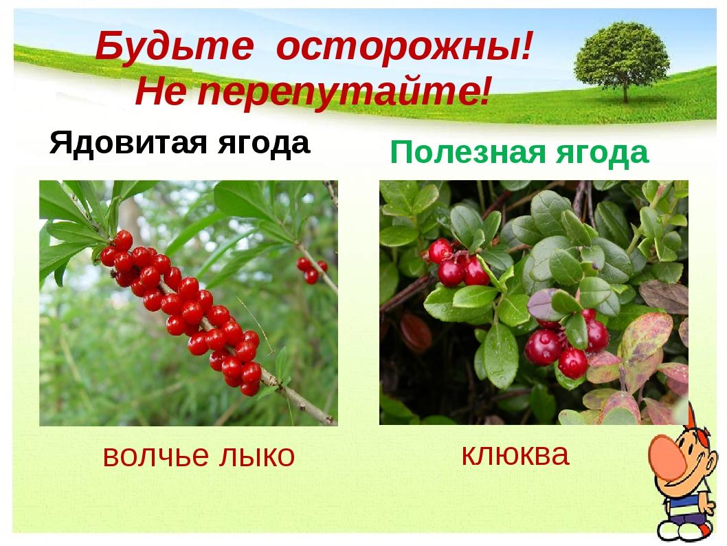 Будьте осторожны! Не перепутайте! Ядовитая ягода Полезная ягода волчье лыко к...