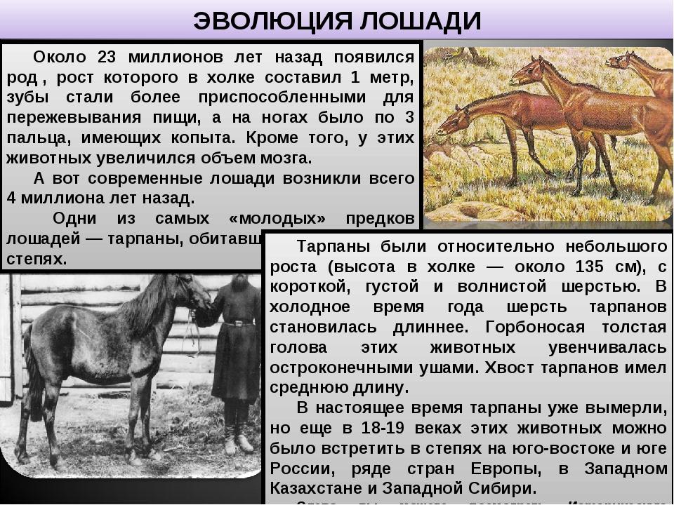 ЭВОЛЮЦИЯ ЛОШАДИ Около 23 миллионов лет назад появился род, рост которого в х...