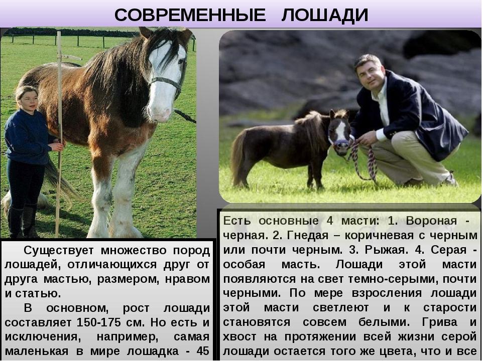 СОВРЕМЕННЫЕ ЛОШАДИ Существует множество пород лошадей, отличающихся друг от д...