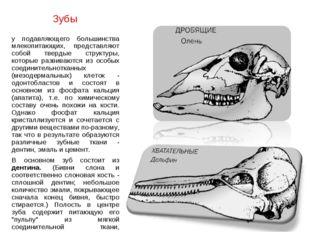Зубы у подавляющего большинства млекопитающих, представляют собой твердые стр
