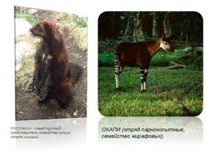 РОСОМАХА - самый крупный представитель семейства куньих (отряд хищные). ОКАПИ