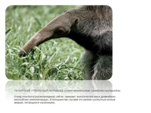 ГИГАНТСКИЙ (ТРЕХПАЛЫЙ) МУРАВЬЕД (отряд неполнозубые, семейство муравьедов). О