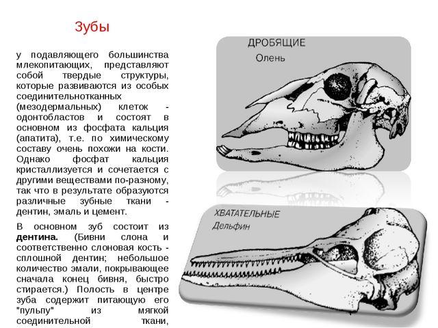 Зубы у подавляющего большинства млекопитающих, представляют собой твердые стр...
