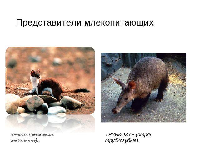 Представители млекопитающих ГОРНОСТАЙ (отряд хищные, семейство куньи). ТРУБКО...