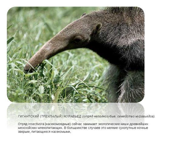 ГИГАНТСКИЙ (ТРЕХПАЛЫЙ) МУРАВЬЕД (отряд неполнозубые, семейство муравьедов). О...