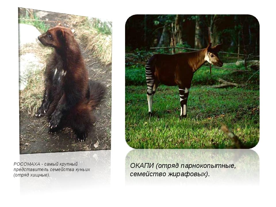 РОСОМАХА - самый крупный представитель семейства куньих (отряд хищные). ОКАПИ...