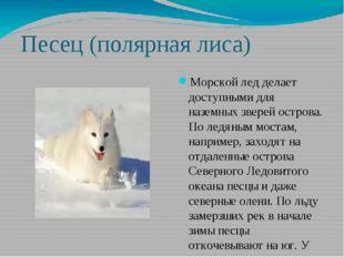 Песец (полярная лиса) Морской лед делает доступными для наземных зверей остро