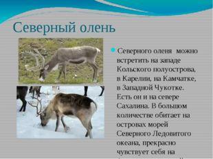 Северный олень Северного оленя можно встретить на западе Кольского полуостров