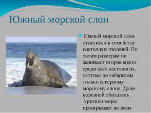 Южный морской слон Южный морской слон относится к семейству настоящих тюленей