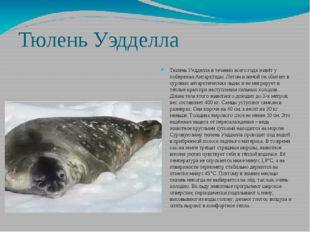 Тюлень Уэдделла Тюлень Уэдделла в течении всего года живёт у побережья Антарк