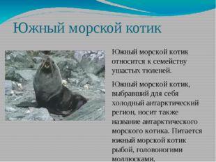 Южный морской котик Южный морской котик относится к семейству ушастых тюленей