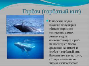 Горбач (горбатый кит) В морских водах Южного полушария обитает огромное коли