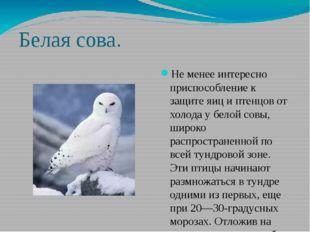 Белая сова. Не менее интересно приспособление к защите яиц и птенцов от холод