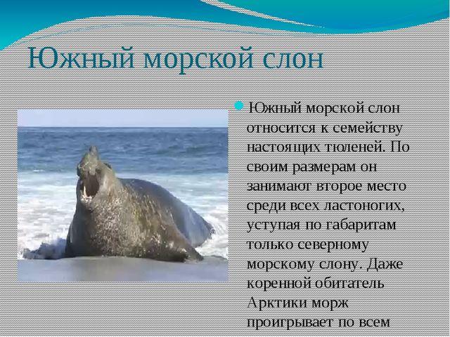 Южный морской слон Южный морской слон относится к семейству настоящих тюленей...