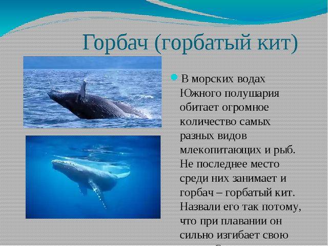 Горбач (горбатый кит) В морских водах Южного полушария обитает огромное коли...