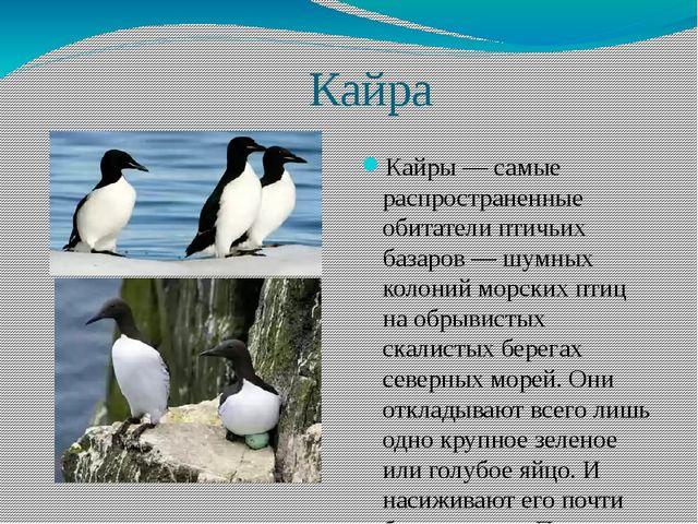 Кайра Кайры — самые распространенные обитатели птичьих базаров — шумных коло...