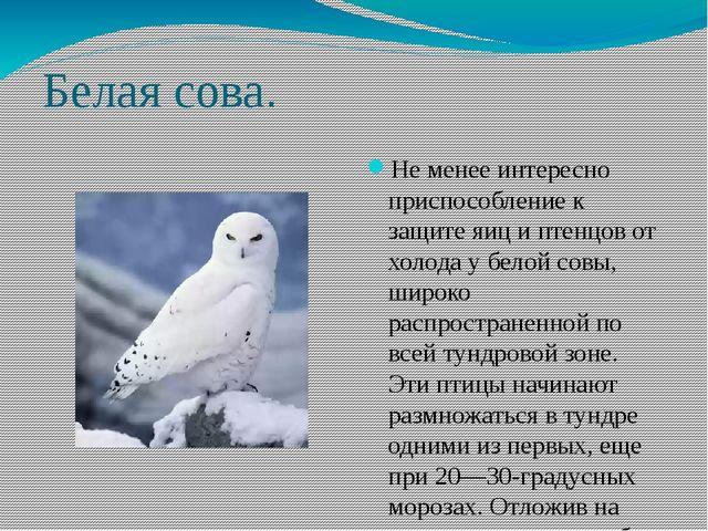 Белая сова. Не менее интересно приспособление к защите яиц и птенцов от холод...