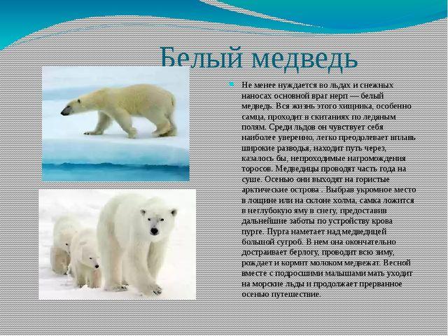 Белый медведь Не менее нуждается во льдах и снежных наносах основной враг не...