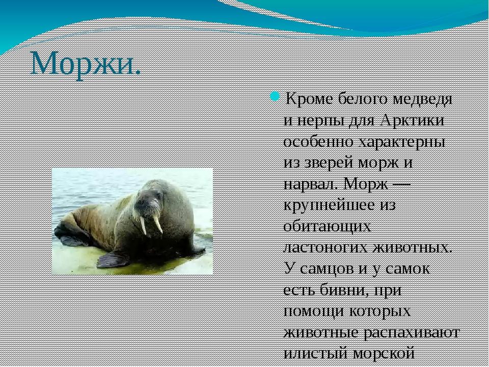 Моржи. Кроме белого медведя и нерпы для Арктики особенно характерны из зверей...
