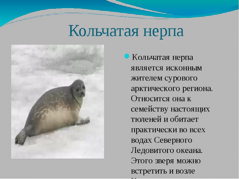 Кольчатая нерпа Кольчатая нерпа является исконным жителем сурового арктическ...