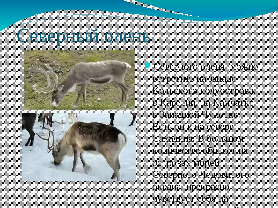 Северный олень Северного оленя можно встретить на западе Кольского полуостров...